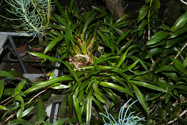 1 of 3 plants, Miltonia clowesii 'Diego' species orchid spike 10-20