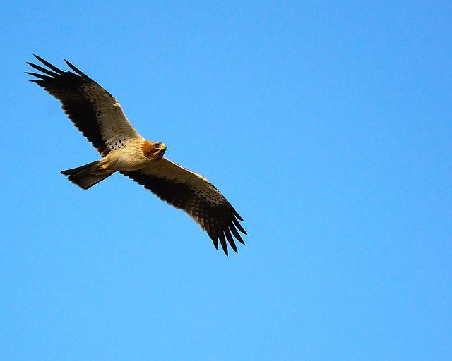 Booted Eagle (Hieraaetus pennatus) (Light Morph) Oman wildlife