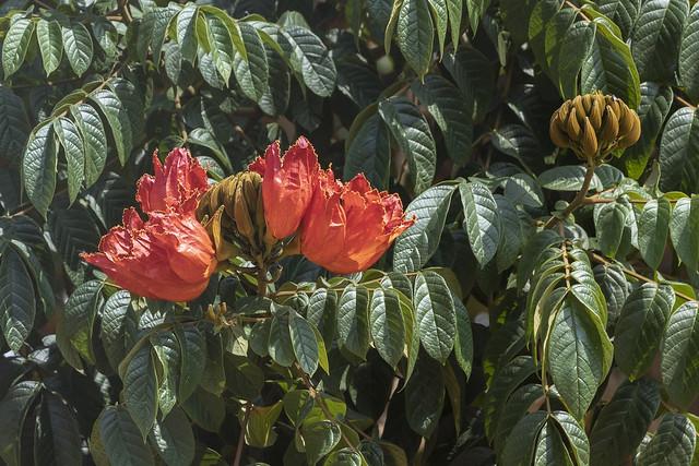 Spathodea campanulata. Tulipán africano