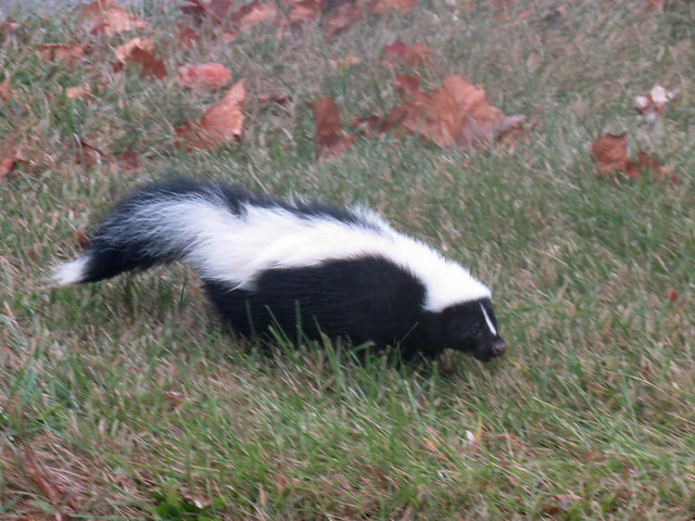 skunk down by the creek