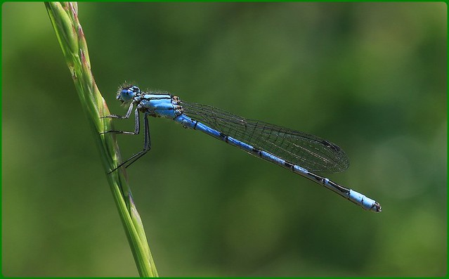 Common Blue Damselfly - Prestbury Hill