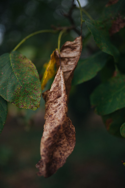 Close up of a dry brown leaf on a tree.
