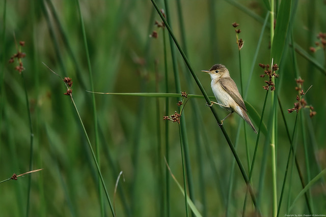 Rousserolle effarvatte (Acrocephalus scirpaceus) - Eurasian Reed Warbler