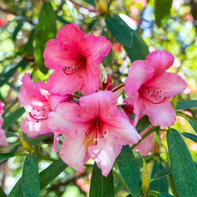 Pink Rhododendron - Dandenong Ranges Botanic Garden.