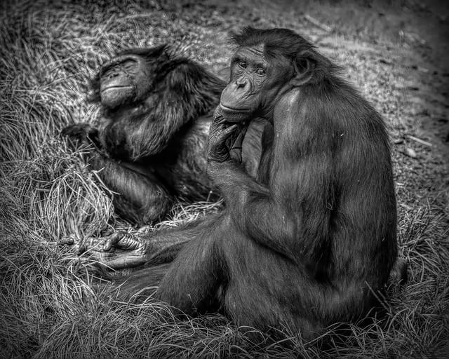 2020-10-October-200-Chimpanzee Sitting Around-10-Black and White