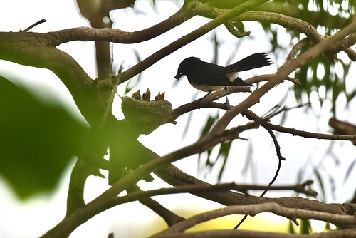 Willie wagtails ( mum and dad are both busy ) | by friendsintheair