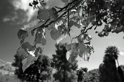 Cottonwood Leaves - Big Morongo Preserve (11)