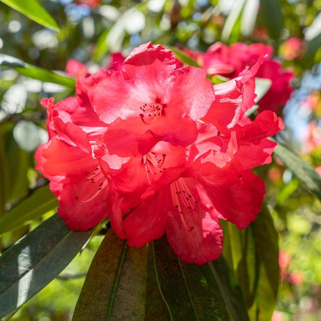 Red Rhododendron - Dandenong Ranges Botanic Garden.
