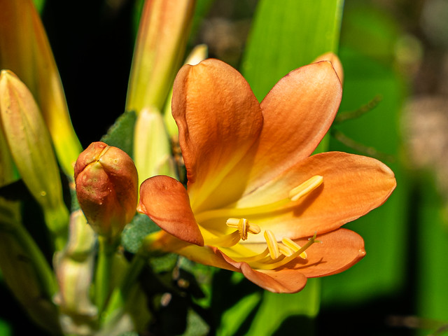 Clivia - Dandenong Ranges Botanic Garden.