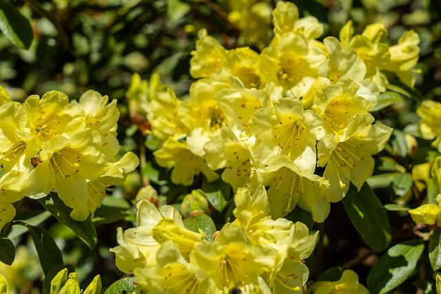 Yellow Rhododendron - Dandenong Ranges Botanic Garden.