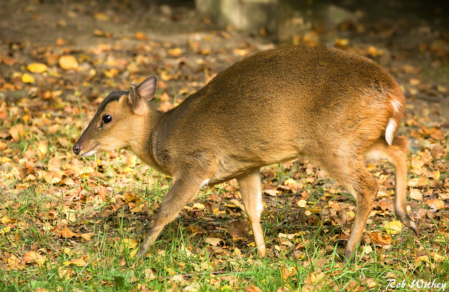 Muntjac In The Early Morning Sun