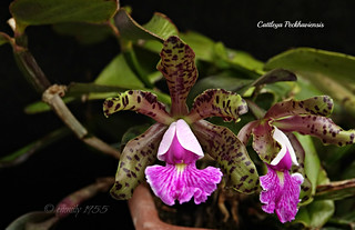Cattleya Peckhaviensis | by emmily1955