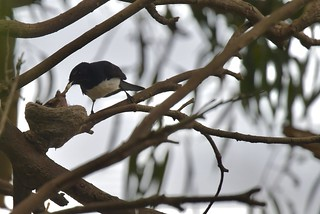 Willie wagtails ( nappy time ) | by friendsintheair