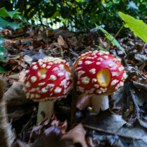 Autumn reds: fly agaric