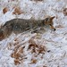 248A4438 coyote mousing in the snow