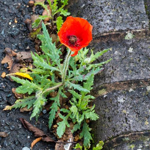 Autumn reds: lone poppy