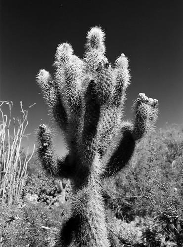 Cholla - Living Desert (30)