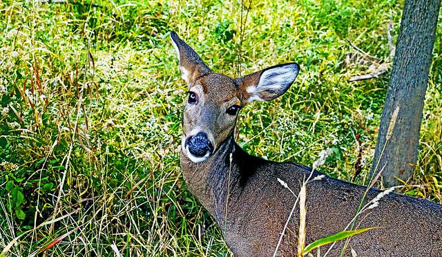 Deer America, Please Vote!