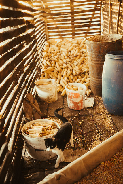 Cat standing near the bucket full of corn cobs in the barn.