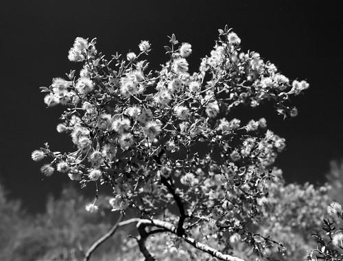 Creosote Blooms - Living Desert (27)