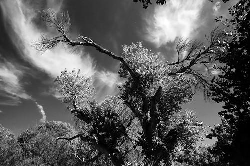 Cottonwood Tree - Big Morongo Preserve (14)