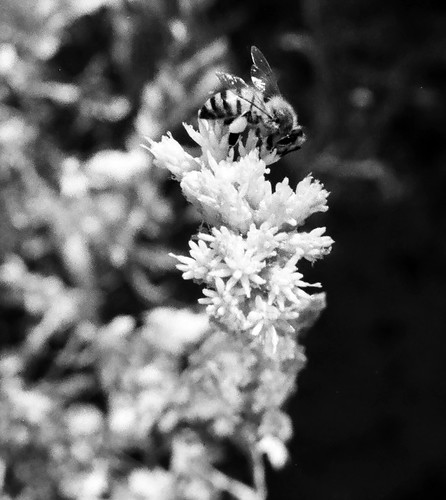Bee - Big Morongo Preserve (09)