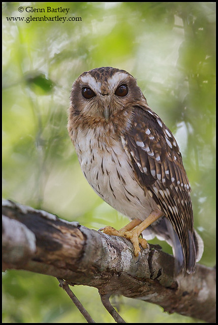 Bare-legged Owl (Gymnoglaux lawrencii)