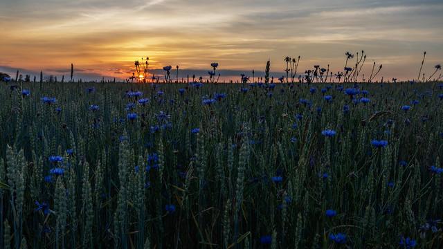 cornflower sunset - Kornblumen bei Sonnenuntergang