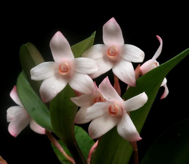 Maxillaria scalariformis