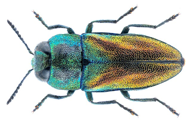 Anthaxia passerinii Pecchioli, 1837