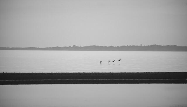 Four Cormorants In Flight