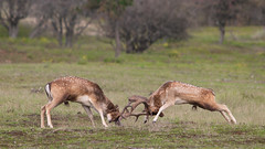 Deer Battle For Dominance