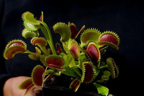 dionaea dracula septembre 2020 (1)