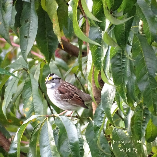 White Throated Sparrow on Forsythia Hill