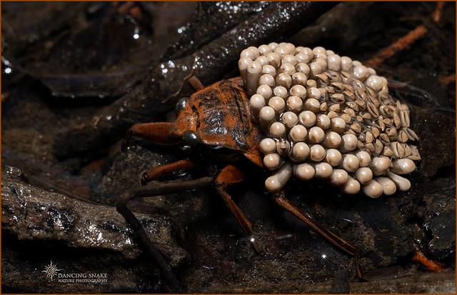 _O6A3876 Giant Waterbug ©Dancing Snake Nature Photography