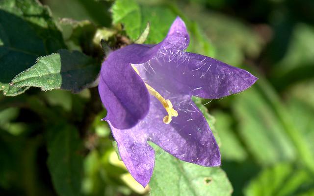 Nettle-leaved Bellflower - Campanella selvatica (Campanula trachelium)