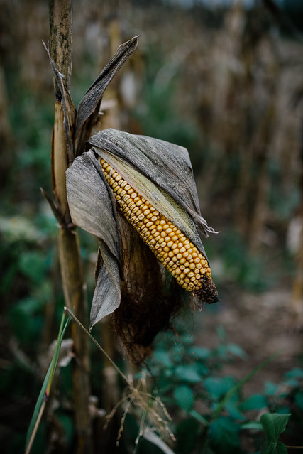 A single cob of corn hanging from the plant.
