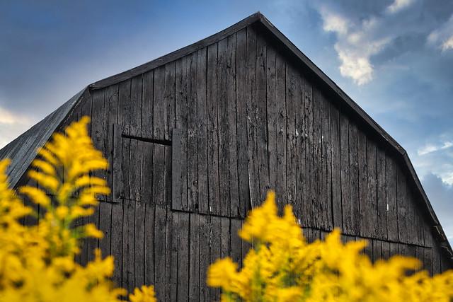 Black barn over golden rods