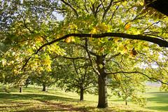 Oaks, Hyde Park