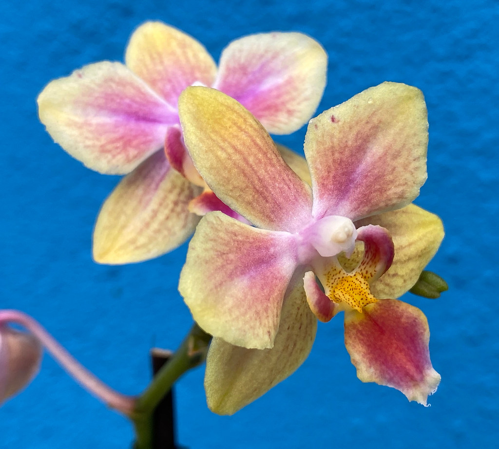 Yellow and Pink Miniature Phalaenopsis Orchids at home.