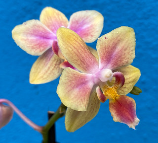 Yellow and Pink Miniature Phalaenopsis Orchids at home. | by ER's Eyes - Our planet is beautiful.