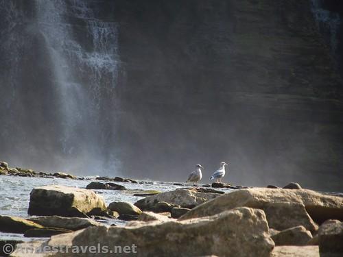 Sea gulls near Lower Falls, Rochester, New York