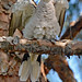 Angelic Eurasian Collared-Dove
