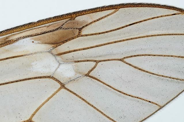 Crane fly wing / Schnakenflügel