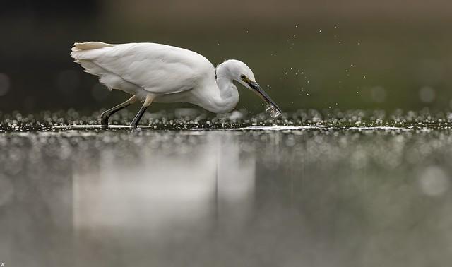 Little Egret, Nottinghamshire.