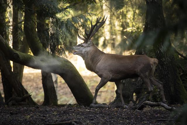 Red-deer-stag_8245