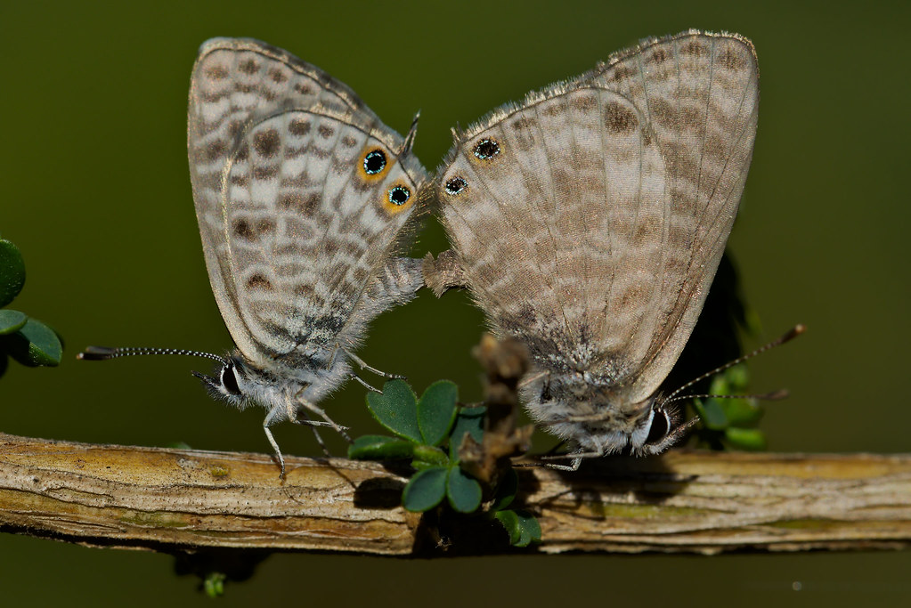 Leptotes pirithous mating (6)