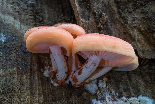Leaking mushrooms