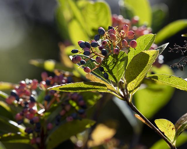 Southern wild raisin (Viburnum nudum)