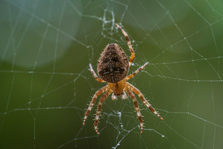 Cross Orb Weaver | by Darryll A DeCoster